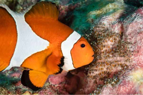 Clownfish caring for its eggs
