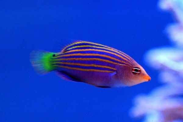 6 line wrasse in reef tank