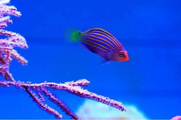 six line wrasse and gorgonian