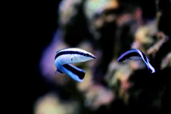 Cleaner wrasses may harass pipefish