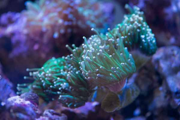 torch coral LPS