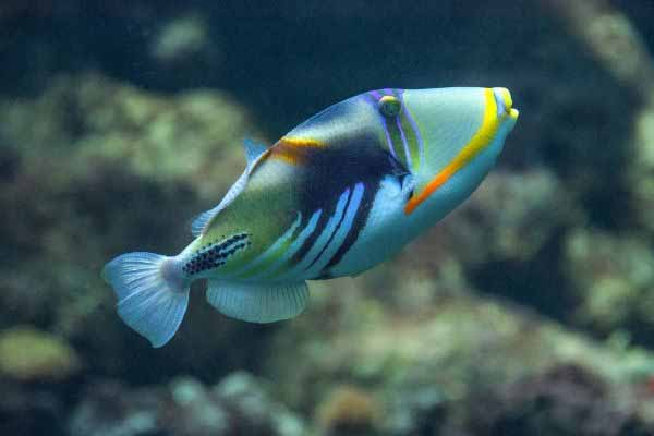 Triggerfish are incompatible with pipefish