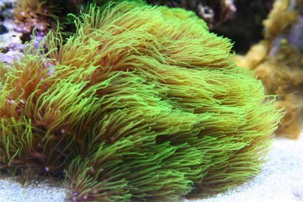 Long tentacle green star polyps in strong current