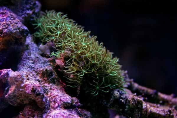 green star polyps on live rock