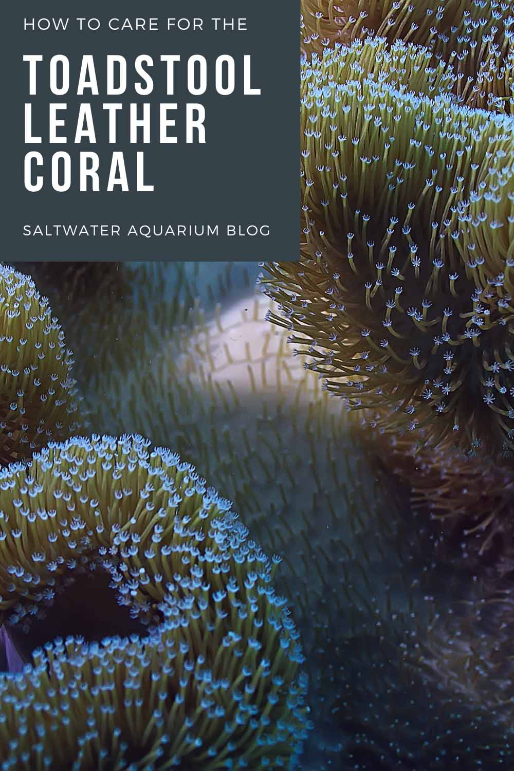 Toadstool coral care