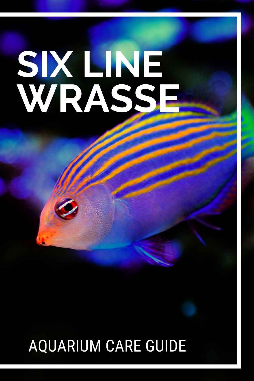 Six line wrasse aquarium care guide