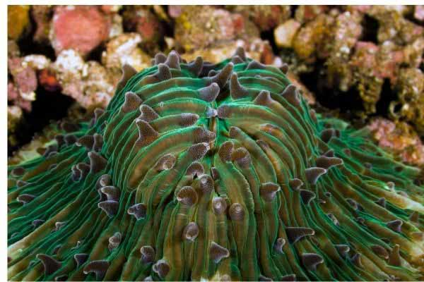 Green Fungia Plate coral polyps extended