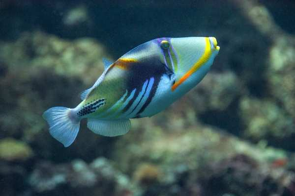 gorgeous saltwater fish: picasso triggerfish