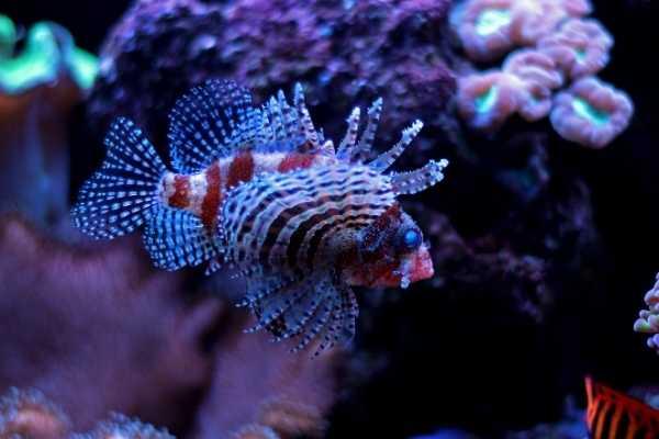 Dwarf lionfish tank mates