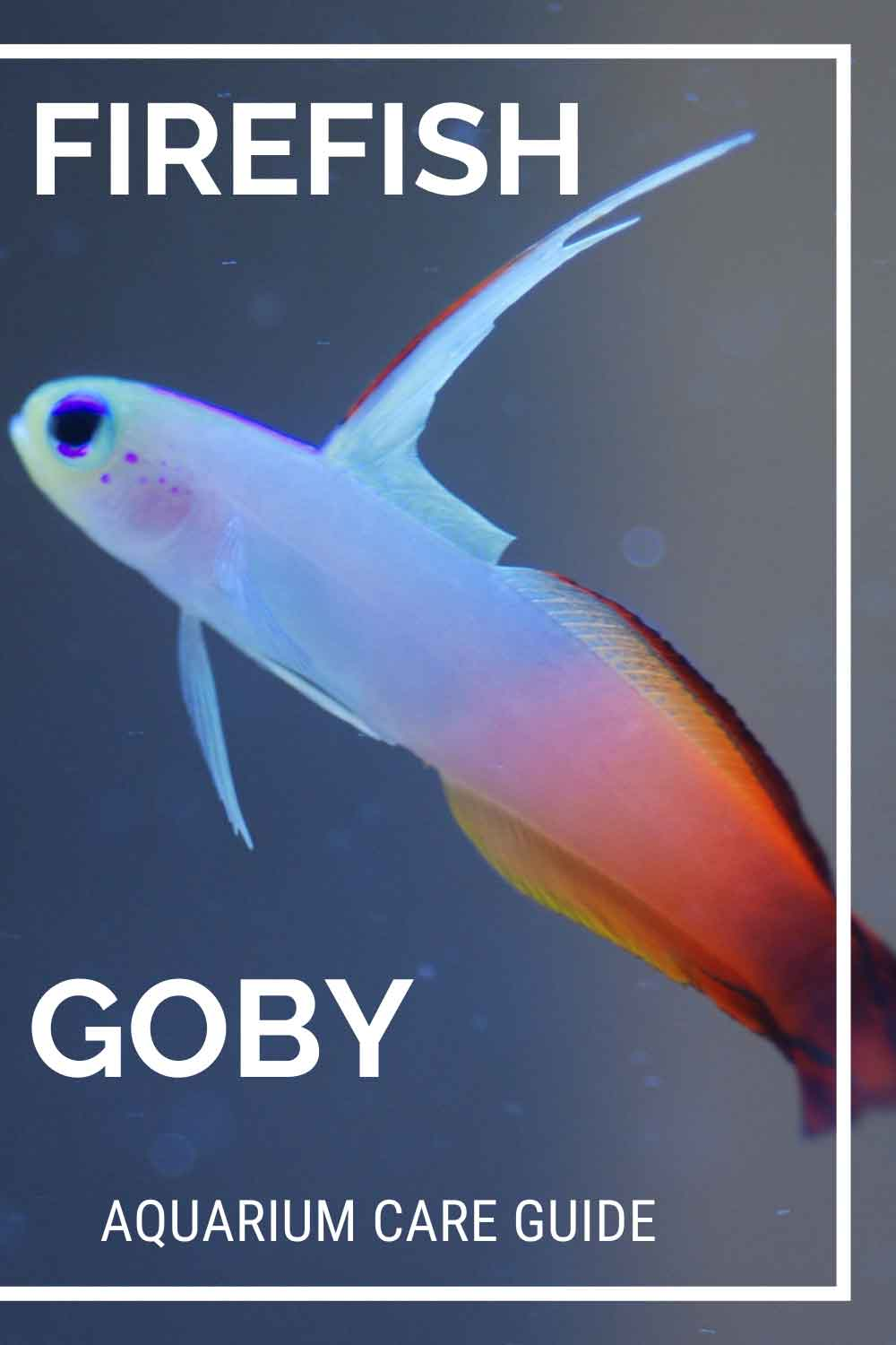 Firefish goby care guide