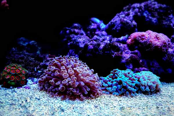 two hammer corals on aquarium substrate