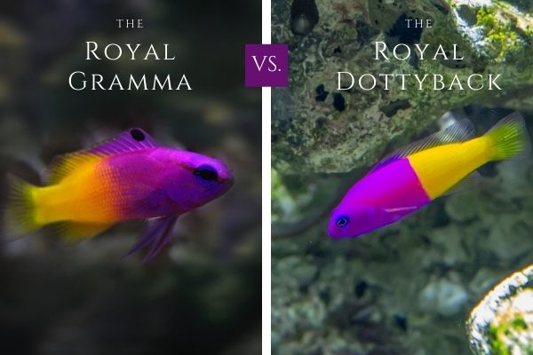 Royal gramma basslet vs royal dottyback