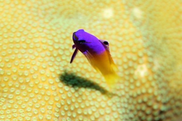 Royal gramma fish over yellow coral
