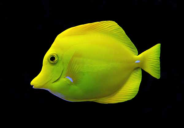 Yellow tang fish on black background