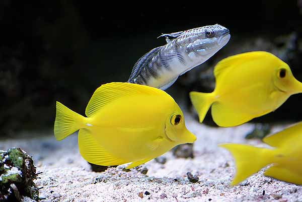 Yellow tangs are compatible with most community fish