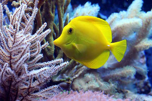 yellow tangs are reef safe