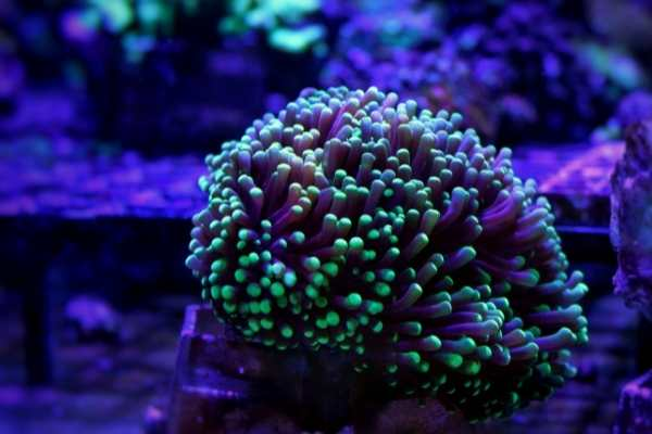 Torch coral under actinic light