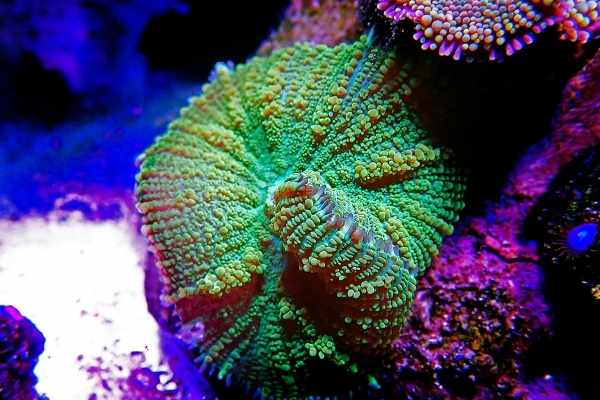 green mushroom coral early stages of splitting