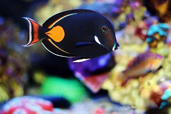 algae-eating Achilles tang