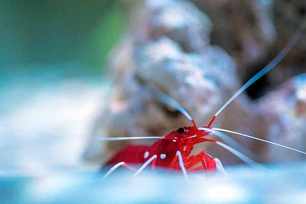 Blood red fire shrimp a reef tank