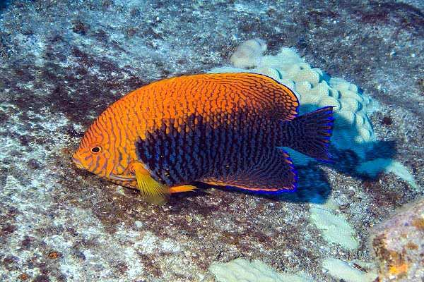 Potter's angelfish on natural reef