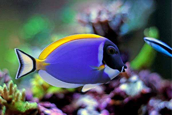 powder blue tang with corals and cleaner wrasse