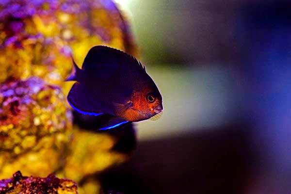 Cherub angelfish in reef tank with blurred background