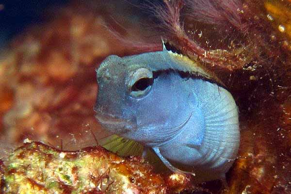 Combtooth blenny species commonly called a mimic blenny