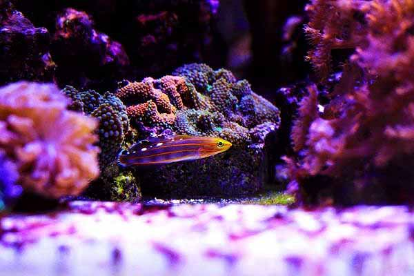Rainford's goby near a colony of different colored Ricordea