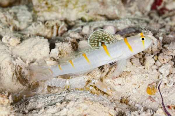Symbiosis between a shrimp goby and pistol shrimp