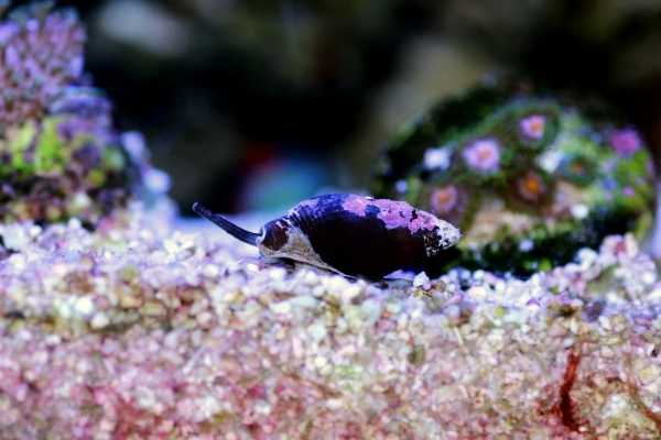 Coraline alge on the shell of a small snail with coral in the background