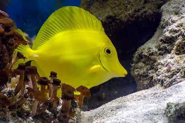 yellow tang with live rock, sand and Zoanthid polyps