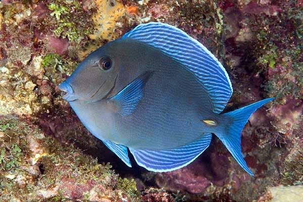 Atlantic blue tangs are beautiful fish that eat algae