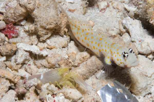 Pistol shrimp with goby