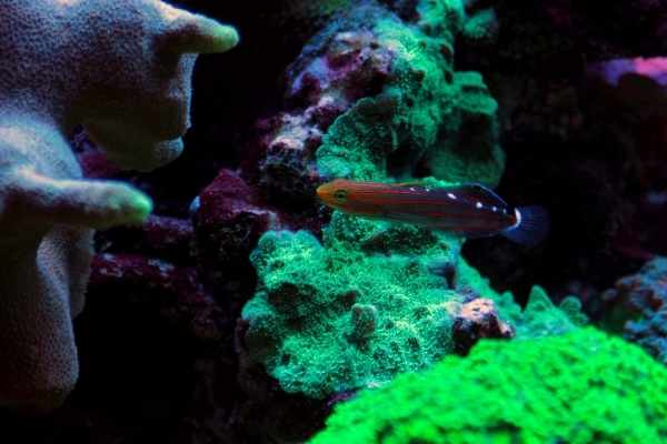 Rainford's goby in a reef tank with corals