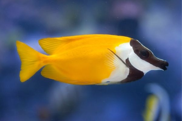 Foxface rabbitfish is one of the best algae-eating saltwater fish
