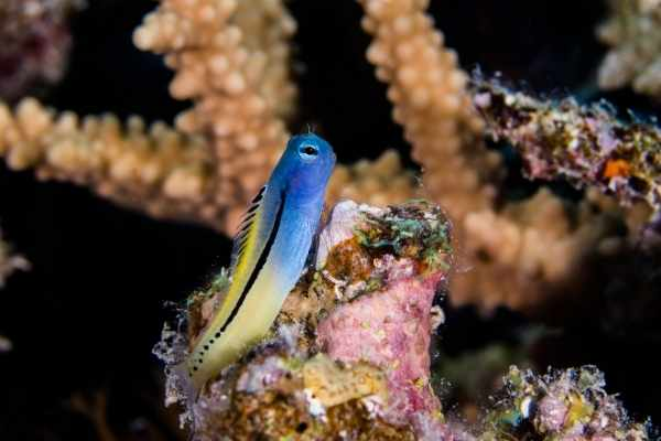 mimic blenny looks like it is posing for the picture perched on live rock