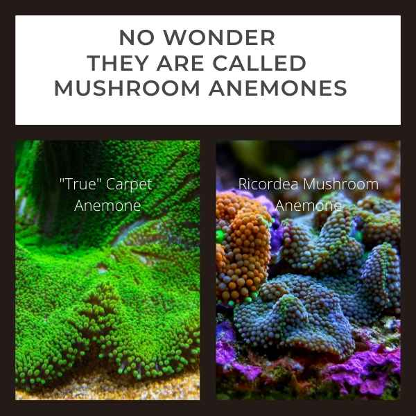 side by side images of a true carpet anemone and a mushroom anemone