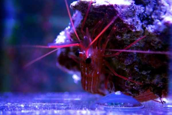 Peppermint shrimp are on the menu for plenty of fish