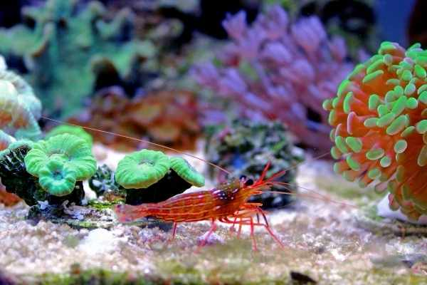 Peppermint shrimp need easy access to the tank