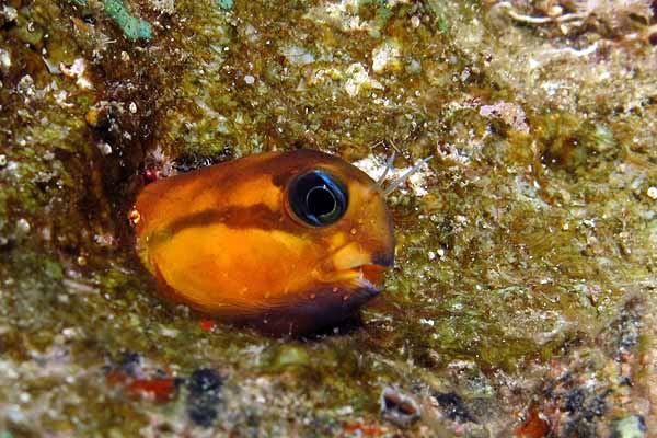 Midas blenny head sticking out from live rock