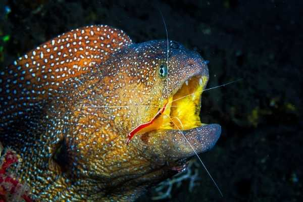 scarlet skunk cleaner shrimp cleaning parasites out of the mouth of a moray eel