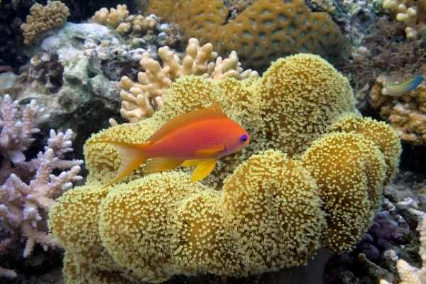 Anthias saltwater fish and toadstool coral in a reef tank