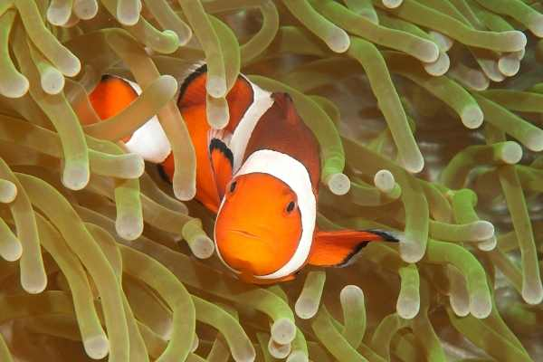 clownfish and anemone close up