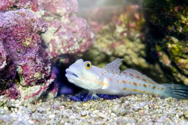 Diamond goby on rocky substrate in front of live rock showing nice purple coralline algae growth