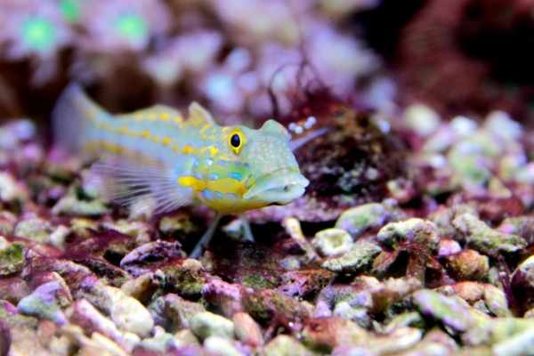 Diamond goby on a large rubble substrate with red slime algae
