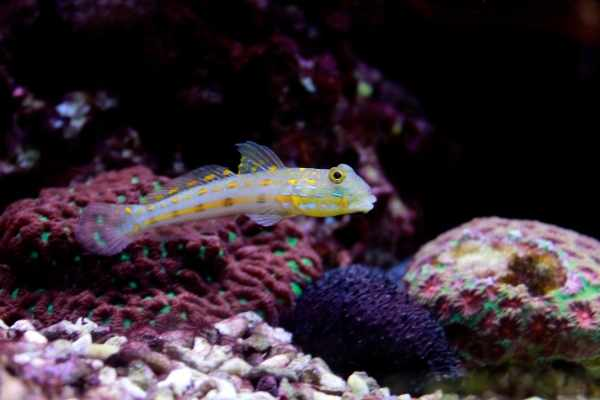 Orange spotted goby swimming in a reef tank with Favia species in background