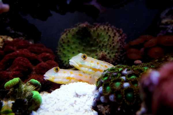 diamond goby pair in reef tank behind zoanthids