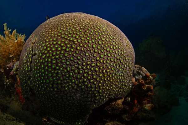 Massive Favia brain coral in a natural reef setting