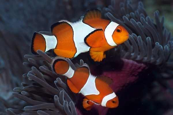 Ocellaris clownfish on natural reef next to magnificent anemone